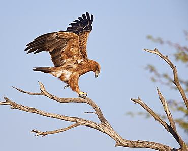 Tawny eagle (Aquila rapax), Kgalagadi Transfrontier Park, encompassing the former Kalahari Gemsbok National Park, South Africa, Africa