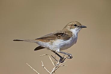 Marico flycatcher (Bradornis mariquensis), Kgalagadi Transfrontier Park, encompassing the former Kalahari Gemsbok National Park, South Africa, Africa