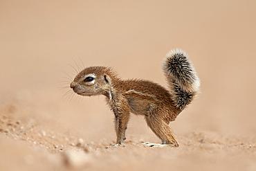 Baby Cape ground squirrel (Xerus inauris), Kgalagadi Transfrontier Park, encompassing the former Kalahari Gemsbok National Park, South Africa, Africa