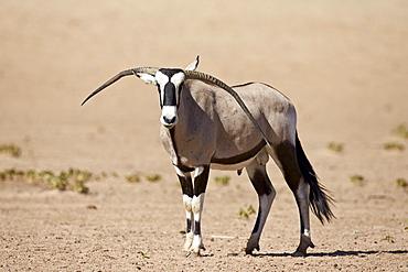 Gemsbok (South African oryx) (Oryx gazella) male with deformed horns, Kgalagadi Transfrontier Park, encompassing the former Kalahari Gemsbok National Park, South Africa, Africa
