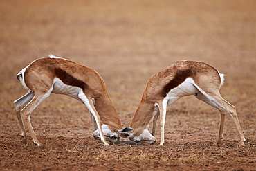 Two Springbok (Antidorcas marsupialis) bucks fighting, Kgalagadi Transfrontier Park, encompassing the former Kalahari Gemsbok National Park, South Africa, Africa