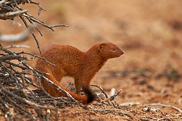 Slender mongoose (Galerella sanguinea), Kgalagadi Transfrontier Park, encompassing the former Kalahari Gemsbok National Park, South Africa, Africa