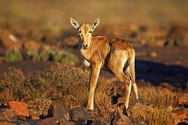Red hartebeest (Alcelaphus buselaphus) calf, Karoo National Park, South Africa, Africa