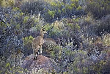 Klipspringer (Oreotragus oreotragus) male, Karoo National Park, South Africa, Africa