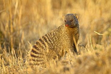 Banded mongoose (Mungos mungo), Masai Mara National Reserve, Kenya, East Africa, Africa