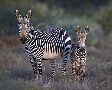 Cape mountain zebra (Equus zebra zebra) mare and foal, Mountain Zebra National Park, South Africa, Africa