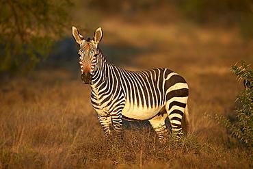 Cape mountain zebra (Equus zebra zebra) mare, Mountain Zebra National Park, South Africa, Africa