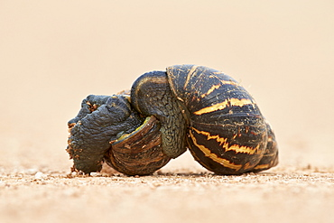 Two East African land snail (Giant African land snail) (Achatina fulica) mating, Addo Elephant National Park, South Africa, Africa