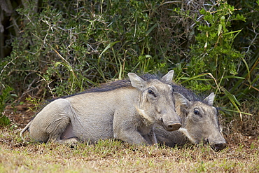 Warthog (Phacochoerus aethiopicus) piglets, Addo Elephant National Park, South Africa, Africa
