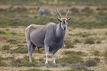 Common eland (Taurotragus oryx) male, Addo Elephant National Park, South Africa, Africa