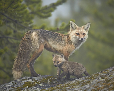 Red fox (Vulpes vulpes) (Vulpes fulva) vixen and kit in the fog, Yellowstone National Park, Wyoming, United States of America, North America