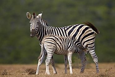 Common zebra (plains zebra) (Burchell's zebra) (Equus burchelli) mare nursing her foal, Addo Elephant National Park, South Africa, Africa