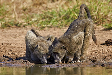 Two Chacma baboon (Papio ursinus) drinking, Kruger National Park, South Africa, Africa