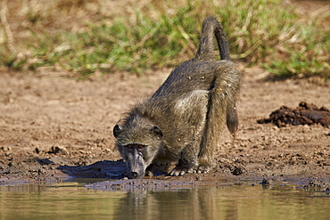 Chacma baboon (Papio ursinus) drinking, Kruger National Park, South Africa, Africa