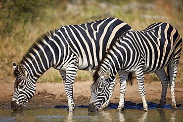 Two common zebra (plains zebra) (Burchell's zebra) (Equus burchelli) drinking, Kruger National Park, South Africa, Africa