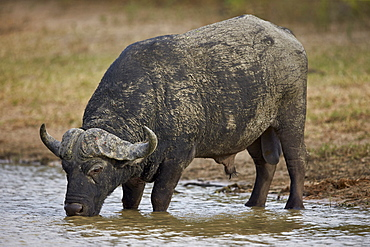 Cape buffalo (African buffalo) (Syncerus caffer) bull drinking, Kruger National Park, South Africa, Africa