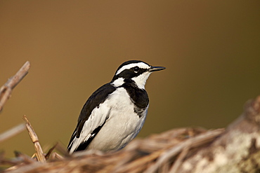 African pied wagtail (Motacilla aguimp), Kruger National Park, South Africa, Africa