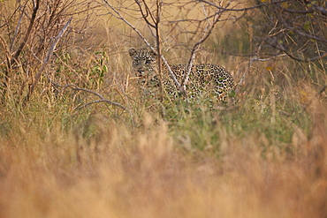 Leopard (Panthera pardus) in heavy brush, Kruger National Park, South Africa, Africa