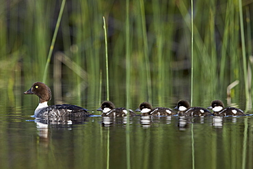 Common Goldeneye (Bucephala clangula) female swimming with four chicks, Lac Le Jeune Provincial Park, British Columbia, Canada, North America
