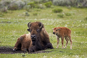 Bison (Bison bison) cow and calf, Yellowstone National Park, Wyoming, United States of America, North America