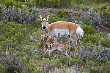 Pronghorn (Antilocapra americana) doe and two days-old fawns, Yellowstone National Park, Wyoming, United States of America, North America