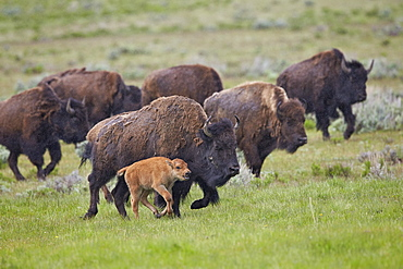 Bison (Bison bison) cow and calf running in the rain, Yellowstone National Park, Wyoming, United States of America, North America