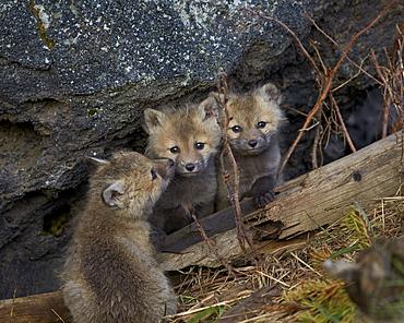 Red Fox (Vulpes vulpes or Vulpes fulva) kits, Yellowstone National Park, Wyoming, United States of America, North America
