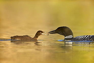Common loon (Gavia immer) adult feeding a chick, Lac Le Jeune Provincial Park, British Columbia, Canada, North America