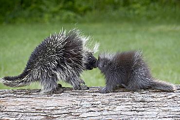 Porcupine (Erethizon dorsatum) mother and baby, in captivity, Sandstone, Minnesota, United States of America, North America