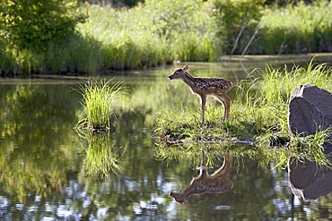Whitetail deer (Odocoileus virginianus) fawn with reflection, in captivity, Sandstone, Minnesota, United States of America, North America