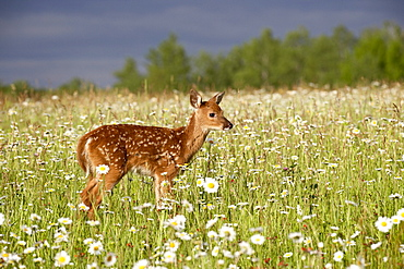 Captive whitetail deer (Odocoileus virginianus) fawn among oxeye daisies, Sandstone, Minnesota, United States of America, North America