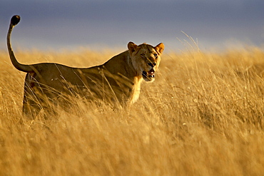 Young male lion (Panthera leo) in early light, Masai Mara National Reserve, Kenya, East Africa, Africa