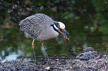 "Yellow-crowned night heron (Nyctanassa violacea), J. N. ""Ding"" Darling National Wildlife Refuge, Florida, United States of America, North America"
