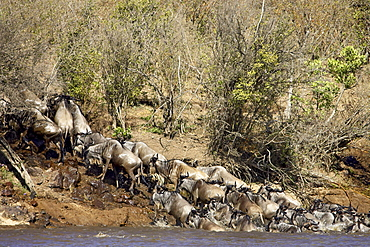 Herd of blue wildebeest (brindled gnu) (Connochaetes taurinus) crossing the Mara River, Masai Mara National Reserve, Kenya, East Africa, Africa