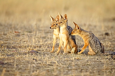 Three black-backed jackal or silver-backed jackal (Canis mesomelas) pups in early light, Masai Mara National Reserve, Kenya, East Africa, Africa