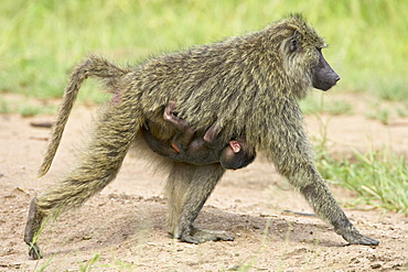 Olive baboon (Papio cynocephalus anubis) infant riding on its mothers chest, Serengeti National Park, Tanzania, East Africa, Africa
