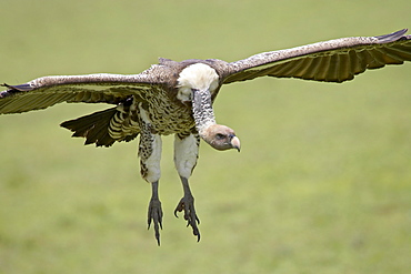 Ruppell's griffon vulture (Gyps rueppellii) on final approach, Serengeti National Park, Tanzania, East Africa, Africa