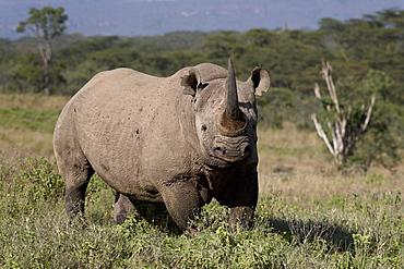 Black rhinoceros (hook-lipped rhinoceros) (Diceros bicornis), Lake Nakuru National Park, Kenya, East Africa, Africa