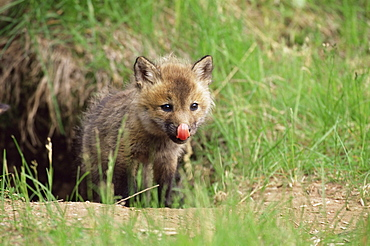 Red fox kit (Vulpes fulva), 47 days old, in captivity, Sandstone, Minnesota, United States of America, North America