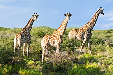 Giraffe (Giraffa camelopardalis), Namibia, Africa
