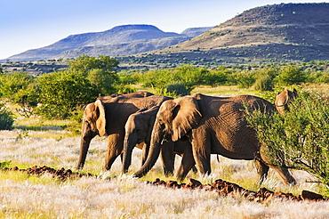 African elephant (Loxodonta africana), Damaraland, Kunene Region, Namibia, Africa