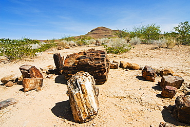Petrified Forest, fossilised tree trunks, Damaraland, Kunene Region, Namibia, Africa