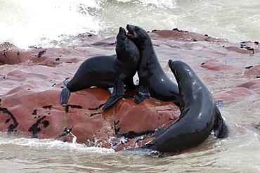 Cape Fur seals (Arctocephalus pusillus), Cape Cross, Skeleton Coast, Kaokoland, Kunene Region, Namibia, Africa