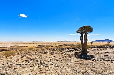The Quivertree (Kokerboom tree) (Aloe dichotoma), Namib desert, Namibia, Africa