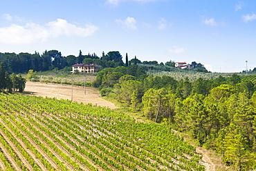Vineyard, Strada in Chianti, Chianti area, Firenze province, Tuscany, Italy, Europe