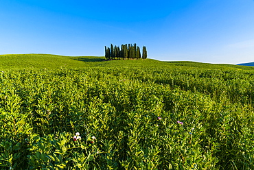 Cypress trees in Tuscan field, Val d'Orcia, UNESCO World Heritage Site, Siena province, Tuscany, Italy, Europe