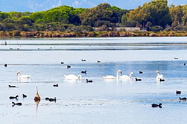 Swans (Cygnus cygnus) and Eurasian coots (Fulica atra) at Burano Lake WWF Oasis, Capalbio, Grosseto province, Tuscany, Italy, Europe