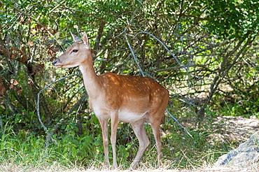 Female fallow deer (Dama dama), Nature Reserve of Duna Feniglia, Orbetello, Maremma, Province of Grosseto, Tuscany, Italy, Europe