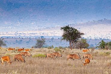 Gemsboks (Oryx gazella), hartebeest (Alcelaphus buselaphus) (Kongoni), Tsavo East National Park, Kenya, East Africa, Africa