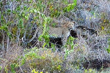 Leopard (Panthera pardus), Lualenyi Ranch, Taita Hills, Kenya, East Africa, Africa